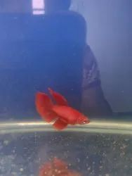 Full Red Ohm Bettas, Size: 4 Month Growth