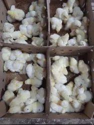 Spring Male Chicks