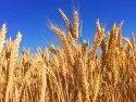 Hd 2967 Wheat Seeds