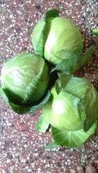 Leafy, Fresh Green Cabbage