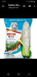 Dried White Hybrid Maize Seeds, For Cultivation