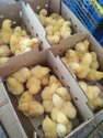 Layer Male Chicks