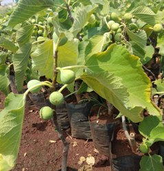 Anjeer Fruit Plant