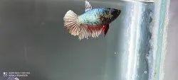 Black Female Betta /Fighter Fish