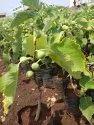 Anjeer Plant /Fig Plant