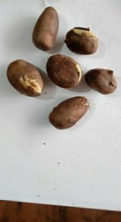Sita  Ashok Plant Seeds