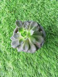 良好的浇水绿色Laxmi Vishnu Kamal植物,花园