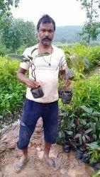 BLACK MANGO PLANT, For Garden