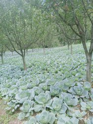 White Cauliflower, Packaging: Plastic Bag or Polythene Bag