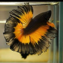 Betta Fighter Fish, 2 Years, Size: Adult
