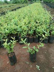 Pomegranate Bhagawa Plant