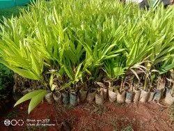 Sagara Mangalore Variety