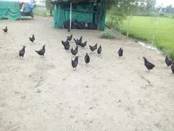Sonali Chicken Ready Birds, For Meat, 3 Months