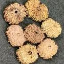 12 MUKHI NEPALI RUDRAKSH 25 TO 30 MM (7 Pcs Lot) (BUY FULL LOT)