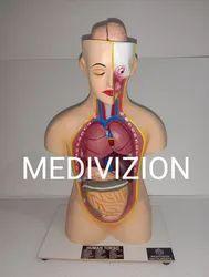 MEDIVIZION Skin Anatomical models, Model Name/Number: MV-AM-01, Size: 2ft,5ft