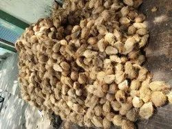 A Grade Solid Coconut, Packaging Size: 10 Kg, Coconut Size: Medium