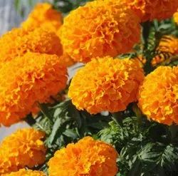 Natural Organic African Marigold Orange Flower Seeds, For Agriculture, Packaging Type: Poly Pack