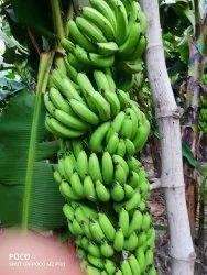 A Grade Fresh Green banana, Packaging Size: 9 ton, Packaging Type: Vhicle loading