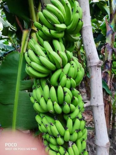 A Grade Fresh Green banana, Packaging Size: 9 ton, Packaging Type: Vhicle loading