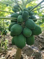 A Grade Papaya Payaya Fruits, Packaging Type: Carton, Packaging Size: 10 Kg