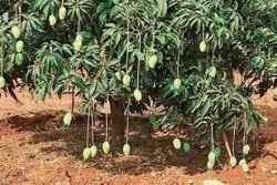 Green Natural Dudhia Malda Mango, Packaging Type: Carton, Packaging Size: 20 Kg