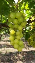 Green Thomson Seedless Grapes, Packaging Size: 4kg