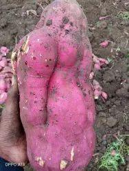 Red B Grade sweet potato