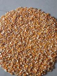 Cool And Dry Place Maize Grain, High in Protein, Packaging Type: Gunny Bag
