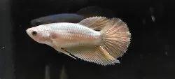 Golden Female Betta /Fighter Fish Breeding Size