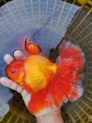 Giant Oranda Gold Fish
