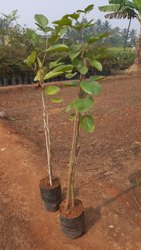Amrutha Sandal Erra Chandanam Nursery Plants, For Aromatic