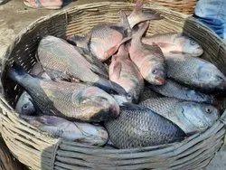 Katla Natural Fish Wholesaler, Packaging Type: Thermocol, Size: 2kg - 2.5kg