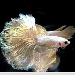 Bettta Breeding Pair Fighter /Betta Fish