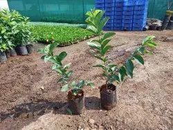 Peru Plant