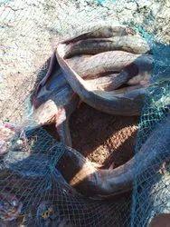 Tilapya Red Catfish, Size: 500-1000 Gram