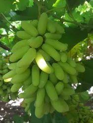 A Grade Green Fresh Grapes, For Human Consumption