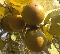Ranchiku Fruit