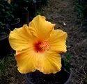 Hibiscus Plants HYBRIDS