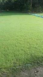 Turf & Smooth Natural Green American Blue Diamond Carpet Grass