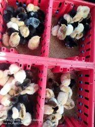 Sonali Murgi Chicks