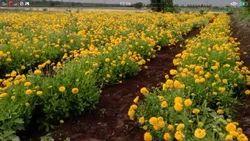 1 Bag Yellow Galanda Flower, 1 kg