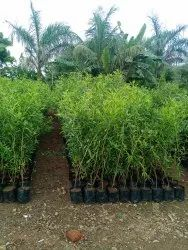 Conocaipas Plant