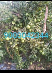 Green Jama Nursery Plants, For Guava, Packaging Type: Bag