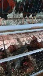 India Desi Egg Laying Hens & Cocks, Fresh