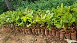 Tissue Culture Teak Plants