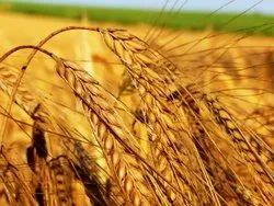 100 Kg Wheat