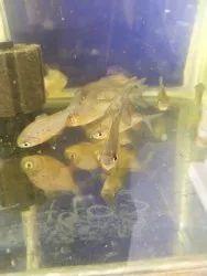 Red Piranha Fish