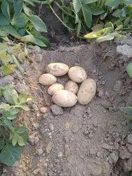 Uttar Pradesh Potato 3797, Gunny Bag