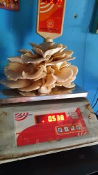 Maharashtra Oyster Mashroom, Packaging Type: Mushroom Tray, Packaging Size: 1 Kg