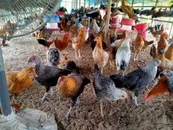 Sonali Chicken, Packaging Size: Cage, 70 - 90 Days
